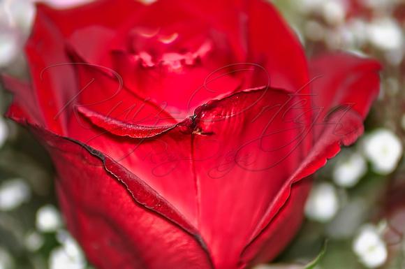 Rose_656